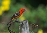 Flame-colored Tanager -  Bloedtangare - Piranga bidentata