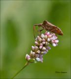 Dock leaf bug - Zuringwants - Coreus marginatus