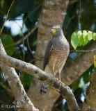 Roadsite Hawk - Wegbuizerd - Rupornis magnirostris