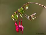 Volcano Hummingbird - Vulkaankolibrie -  Selasphorus flammula