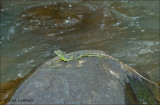 Kroonbasilisk - Green Basilisk - Basiliscus plumifrons