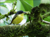 Common Tody-flycatcher - Geelbuikschoffelsnavel- Todirostrum cinereum
