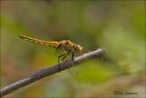 Ruddy Darter - Steenrode heidelibel - Sympetrum sanguineum