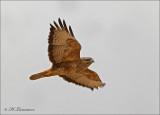 Steppe Buzzard - Steppebuizerd - Buteo buteo vulpinus