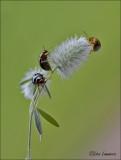 Rosemary Beetle - Rozemarijngoudhaantje - Chrysolina americana