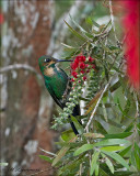 Green crowned brilliant - Groenkruinbriljantkolibrie - Heliodoxa jacula