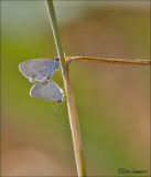 Short-tailed Blue - Staartblauwtje - Cupido argiades