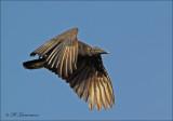 Black Vulture - Zwarte Gier - Coragyps atratus