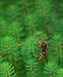 Hornet - Hoornaar - Vespa crabro