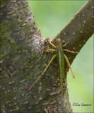 Great Green Bush Cricket - Grote groene sabelsprinkhaan
