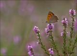Small Copper - Kleine vuurvlinder - Lycaena phlaeas