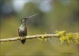 Magnificent Hummingbird - Eugenes fulgens - Eugenes fulgens