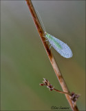 Pearly Green Lacewing - Gaasvlieg - Chrysoperla carnea