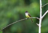 Dusky-capped Flycatcher - Monnikskaptiran - Myiarchus tuberculifer
