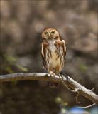 Ferruginous Pygmy-Owl - Braziliaanse dwerguil - Glaucidium brasilianum