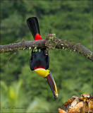 Black-mandibled Toucan - Zwartsnaveltoekan  - Ramphastos ambiguus