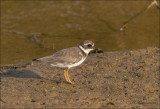 Bontbekplevier - Common Ringed Plover  - Charadrius hiaticula