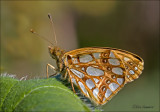 Queen of Spain Fritillary - Kleine parelmoervlinder - Issoria lathonia