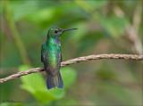 Blue chested hummingbird - Blauwborstamazilia -  Amazilia amabilis