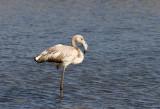 Greater Flamingo - Flamingo - Phoenicopterus roseus (Juvenile)
