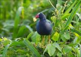 Purple Gallinule - Amerikaans purperhoen - Porphyrio martinicus