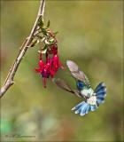 lesser violetear - Kleine violetoorkolibrie - Colibri cyanotus,