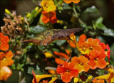 female magenta throated woodstar - Costaricaanse boself - Calliphlox bryantae