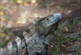 Black Spiny-tailed Iguana - Witzwarte grondleguaan -  Ctenosaura similis
