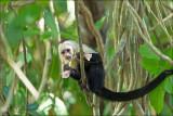 White-headed capuchin - Witschouderkapucijnaap - Cebus capucinus