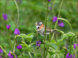 Rufous-collared Sparrow - Roodkraaggors - Zonotrichia capensis