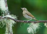 Swainson's Thrush - Dwerglijster - Catharus ustulatus