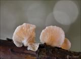 Oorzwammetje -  Crepidotus spec.
