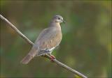White-winged Dove - Witvleugeltreurduif - Zenaida asiatica