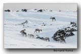 Quelques oiseaux et rennes de Finlande et Norvège- Somme birds and reindeer from Finland and Norway