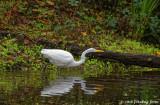 Great White Egret at Delta Ponds