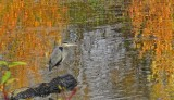 Great Blue Heron with fall colors at Delta Ponds