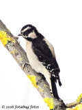 Downy Woodpecker?
