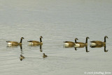 The female buffleheads look so small compared to the geese