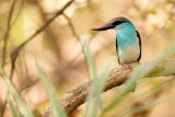 Teugelijsvogel - Halcyon malimbica - Blue-breasted Kingfisher