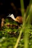 Lelieloper - Actophilornis africanus - African Jacana
