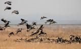 Brandgans    -    Barnacle Goose