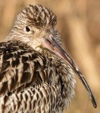 Wulp - Curlew 2