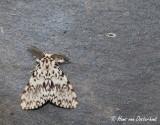 Nonvlinder - Lymantria monacha