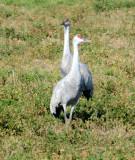 Sandhill Cranes, Ducks, Geese, Swans, Hawks & Other Wildlife of the Sacramento River Delta, 2015-2021