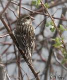Purple Finch Female.jpg
