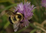 Bumble bee-2.jpg