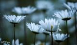 Evening daisies.jpg