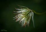 Clematis seedhead3.jpg