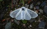 Satin Moth.jpg