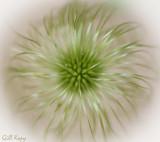 Clematis seed head.jpg
